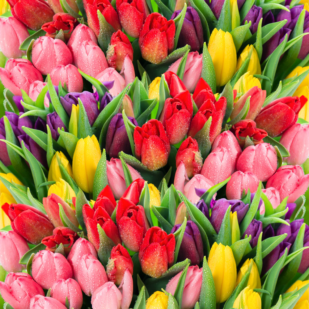 Spend some time by viewing the beautiful tulip flower in the blog izmirmasajfo